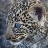 Baby Blue Eyed Leopard Masai Mara  Kenya Africa