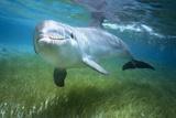 Bottlenosed Dolphin Papier Photo par Craig Tuttle