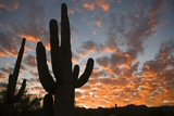 Saguaros at Sunset