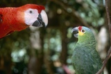 Scarlet Macaw and Red-Lored Amazon Parrot