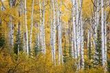 Colorful Aspen Trees Thorpe Mountain  Colorado