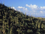 Saguaro Cactus on Hillside