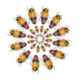 Jewel Beetle Metaxymorpha Nigrofasicata
