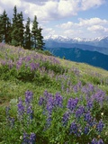 Meadow of Lupine Wildflowers