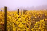 Misty Vineyard in the Autumn