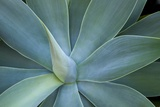 Agave on the Island of Maui  Hawaii