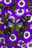 Butterfly on Purple Daisies