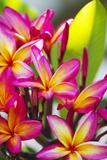 Colorful Plumeria (Frangipani) Blossoms  Maui  Hawaii