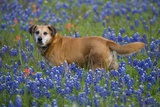Dog in Field of Blue Bonnets