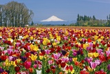 MtHood over Tulips Field  Wooden Shoe Tulip Farm  Woodburn Oregon