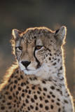 South Africa  Cheetah Looking Away