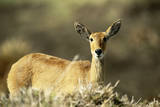 Kenya  Portrait of Reedbuck in Maasai Mara National Reserve