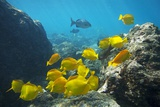 School of Yellow Tang Nderwater Near La Perousse  Makena  Maui  Hawaii