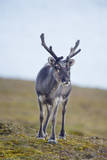Svalbard Reindeer Buck on Tundra  St Jonsfjorden  Spitsbergen  Norway