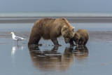 USA  Alaska  Clark River  Brown Bear and Cubs