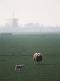 Netherlands  South Holland  Sheep and Lamb Standing in Farm