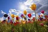 Tulip Fields, Wooden Shoe Tulip Farm, Woodburn Oregon, United States Papier Photo par Craig Tuttle