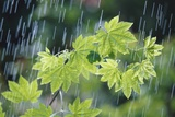 Rain Falling on Vine Maple Leaves
