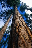 Looking Up a Ponderosa Pine Tree