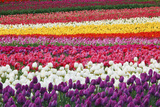 Tulip Fields  Wooden Shoe Tulip Farm  Woodburn Oregon  United States