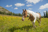 Horse in an Alpine Meadow  Slate Pass  Pasayten Wilderness  Washington