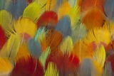 Multi-Colored Feathers from a Variety of Parrots