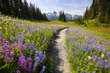 Summer Flowers and Tatoosh Mountains  Paradise  Mount Rainier National Park  Washington State
