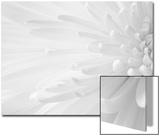 Gentle Crysanthumum 1 Acrylique par Doug Chinnery