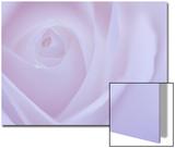 Soft Rose 6