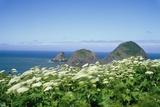 Cow Parsnip Plants Along Oregon Coastline