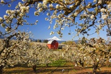 Sunrise MtHood and Old Red Barn  Hood River Valley and Apple Blossoms  Hood River Oregon  Columbia