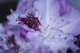 Lavender Rhodies II