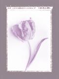 Tulip Shadow II