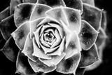 Monochrome Succulent III