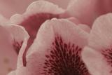Tender Petals I