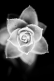 Monochrome Succulent II