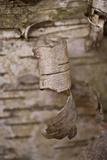Bark Peel I