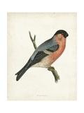 Morris Bullfinch