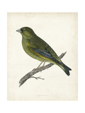 Morris Greenfinch