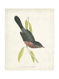 Morris Dartford Warbler