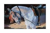 Marwari Horse  Rajasthan  2010