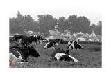 Woodstock- Cows in the Pasture (Black and White)