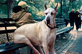 Great Dane on Central Park Bench NYC