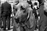 Bloodhound in NYPD K9 Unit