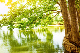 Beautiful River Landscape  Reflection of Big Tree in Calm Water  Forest Nature  Bright Yellow Sunli
