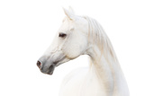 Arabian White Horse