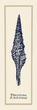 Pleurotoma Shell I