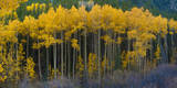 Autumn Vista with Yellow Aspens Along Cottonwood Pass  Rocky Mountains  Colorado USA