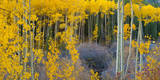 Bright Yellow Aspens Along Cotonwood Pass  Rocky Mountains  Colorado USA