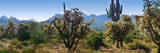 Panorama of Arizona's Desert Cactus